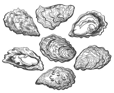 Austern. Austernschalenvektorsatz, handgezeichnete frische Austern einzeln auf weißem Hintergrund für gekochte Delikatessen oder Delikatessendekor Vektorgrafik