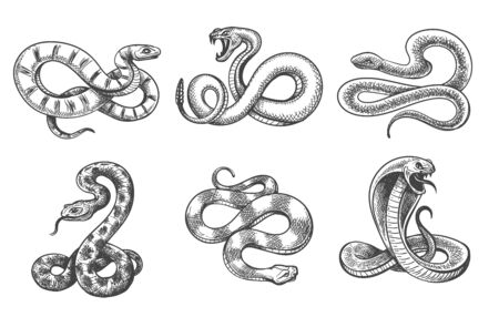 Bosquejo de serpientes. Conjunto de serpientes dibujadas a mano negro aislado en blanco, vector víbora serpiente del desierto efa, cobra y boa constrictor, serpiente de cascabel venenosa grabada y pitón real