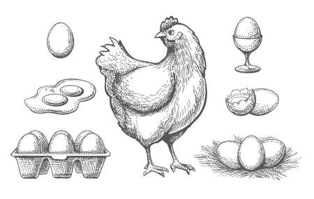 Hen and eggs sketches. Hand drawn chicken and egg set in nest, nature ingredient for fresh diet breakfast, vector illustration farm poultry and eggs in tray isolated on white background