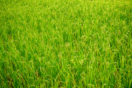 carbohydrates: Rice field landscape.