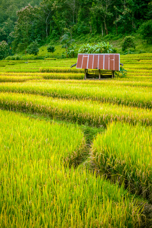 carbohydrates: Rice field landscape with small hut in the middle.