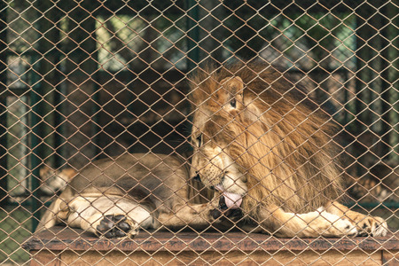 A lion lay down inside the large cage and licking his feet.