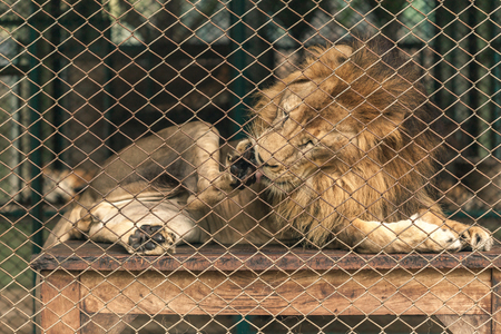 A lion lay down inside the large cage and cleansing his feet.