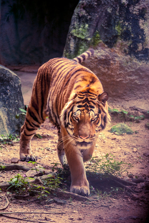 A tiger walk stealthily with slow movement. Stock Photo