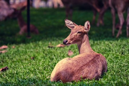 A deer sitting in the green field. Stock Photo