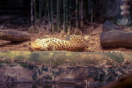 lay forward: Leopard lay down on the ground and looking straight.