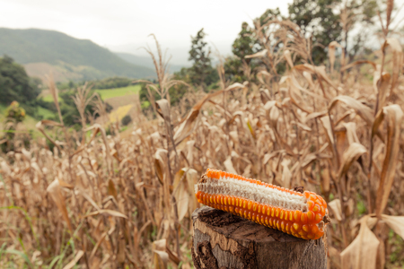waterless: Dried corn on stub with dead corn field on background.