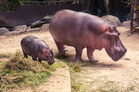 Baby hippo and mom eating food and grass.