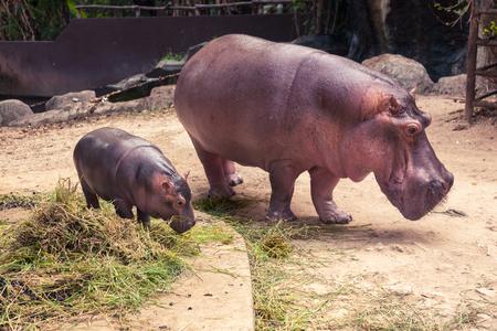 Babyhippo en mamma die voedsel en gras eten.