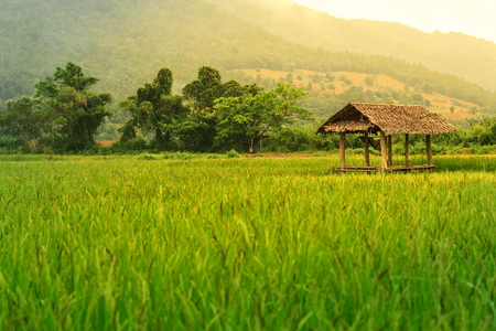 Rice field landscape with small hut inside and mountain on background.
