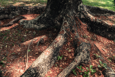 Roots of big tree in the garden surrounded by dry leaves.