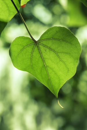 A closeup of green leaf in shape of heart. Reklamní fotografie