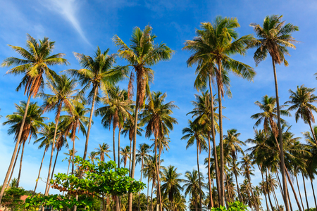 Group of very tall coconut tree grow to the clear blue sky.