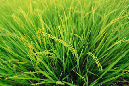 Rice field closeup with shallow depth of field.