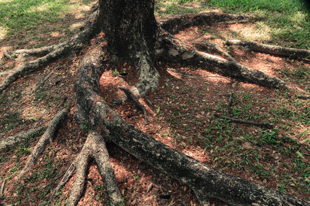 huge tree: Roots of big tree in the garden surrounded by dry leaves.