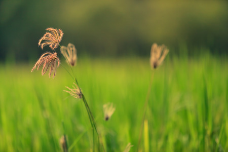 Background of green field with Swallen Fingergrass flower.