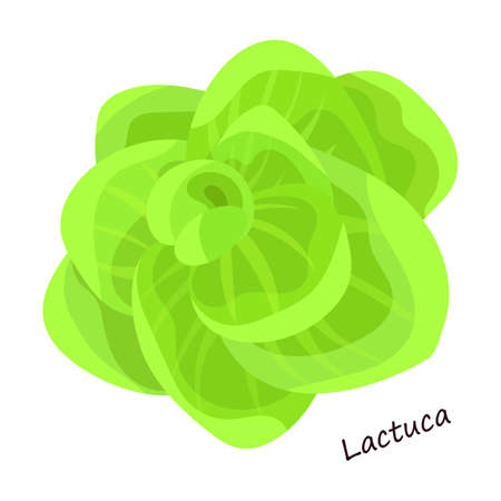 Lettuce and salad cartoon vector of icon.Cartoon vector illustration leaf of lettuce. Isolated illustration leaf of salad icon. Standard-Bild - 167154237