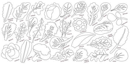 Lettuce and salad outline vector set of icon.outline vector set illustration leaf of lettuce. Isolated illustration collection leaf of salad icon.