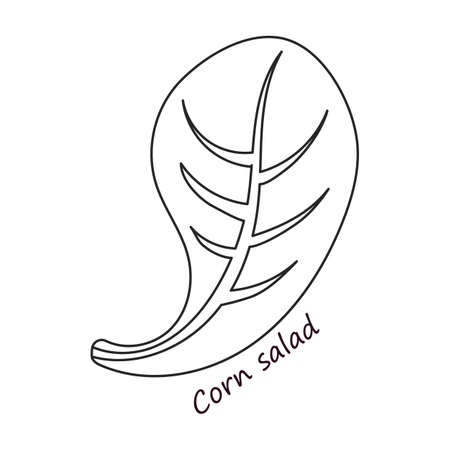 Lettuce and salad outline vector of icon.Outline vector illustration leaf of lettuce. Isolated illustration leaf of salad icon.