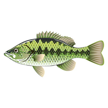 spotted: Largemouth Spotted Green American Bass