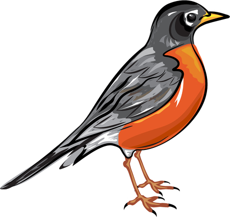 robin bird: American Robin bird illustration