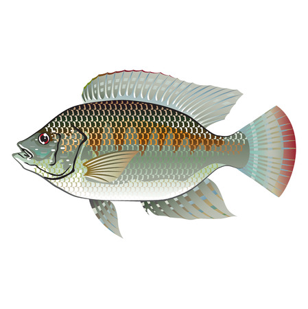 Raw Seafood Tilapia Fish Vector