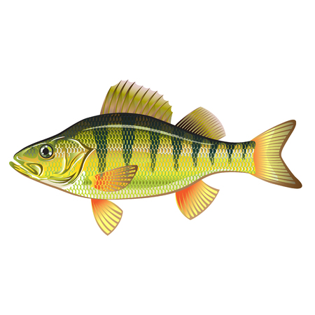 freshwater: Freshwater Yellow Perch Vector Art graphic design file