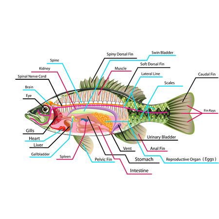 Fish internal organs Vector Art diagram Anatomy with Labels
