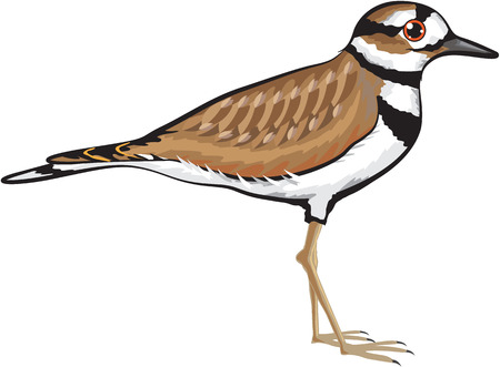 Killdeer bird vector illustration simplified drawing design file