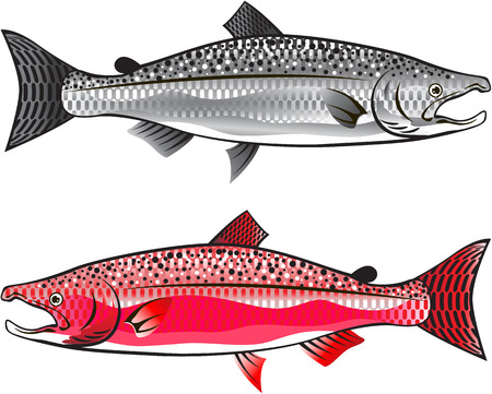 chinook: King Salmon. Silver and Spawning.