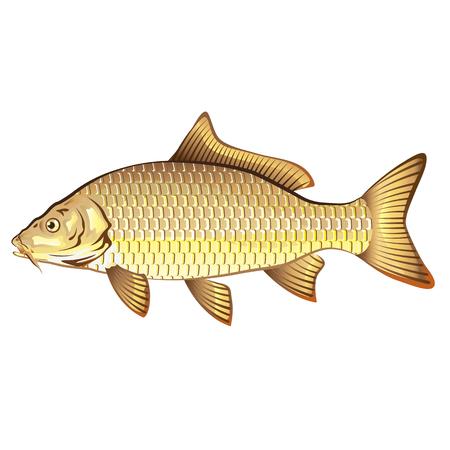 Common Golden Carp Vector Art Illustration