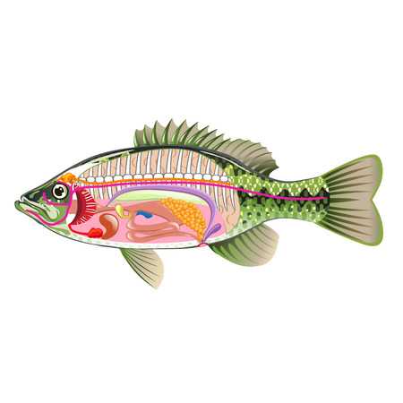 Fish internal organs Vector Art diagram Anatomy without Labels