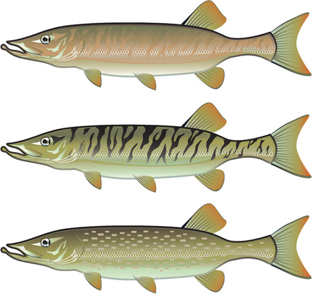 pike: Musky Tiger musky and Northern Pike vector illustration fish predators Illustration