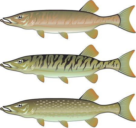 Musky Tiger musky and Northern Pike vector illustration fish predators Ilustracja