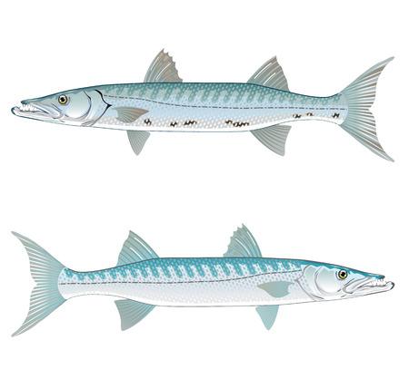 Barracuda vector art illustration realistic