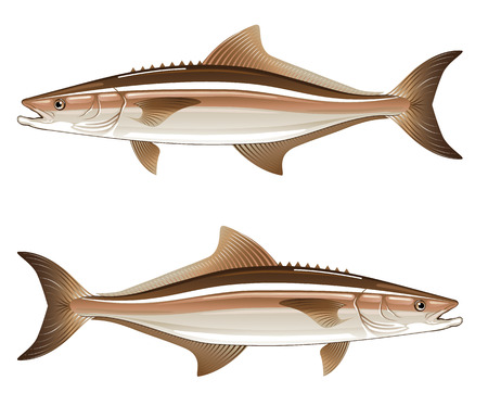 Cobia game fish illustration