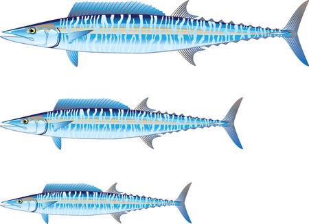 Wahoo game fish illustration