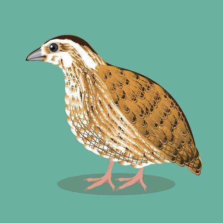 przepiórka mały ptak hodowlany