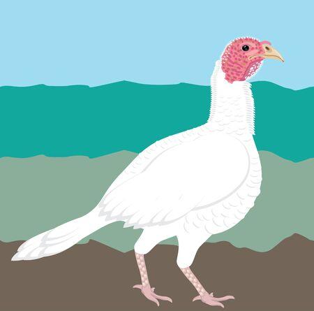 white farm turkey Illustration