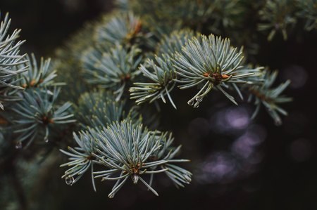 Spruce branches in drops of water after a spring rain on a dark background.