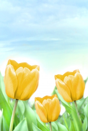 three beautiful yellow tulips  photo