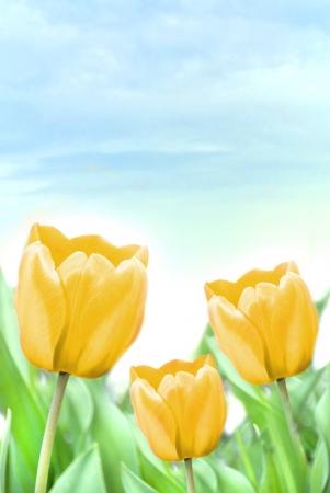 three beautiful yellow tulips Stock Photo - 16500378