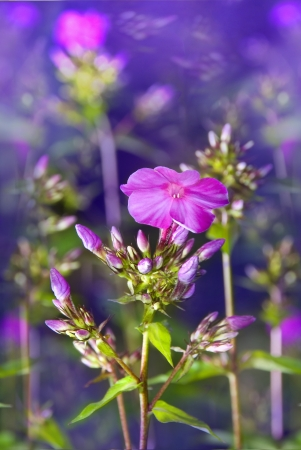magic blossoming small flowers of perfect violet phlox
