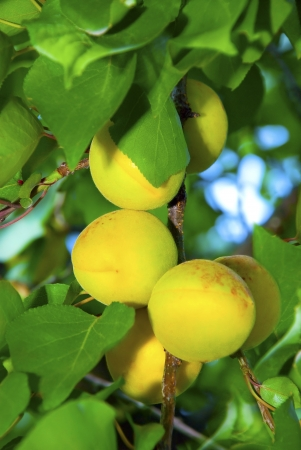 orange and green juicy apricots ripening on a branch with green leaves Stock Photo - 16563447