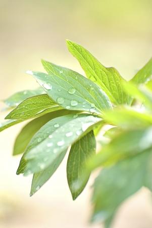 pion: Green fresh leafs of garden pion Stock Photo