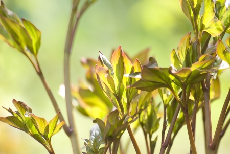 pion: Green fresh shoots of garden pion Stock Photo