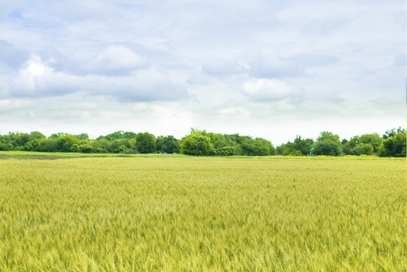 yellow  field of wheat with green trees