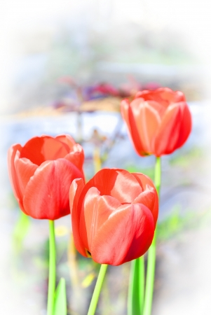 three red art tulips on white Stock Photo