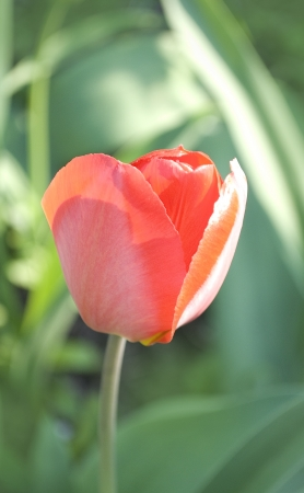 shine tulip on green von photo