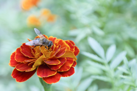 macro red marigold and  big bee with green background
